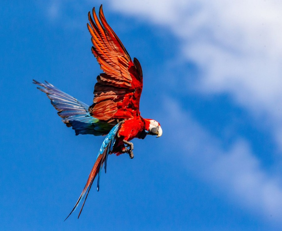 Red-and-green Macaw - ©Rewilding Argentina -1